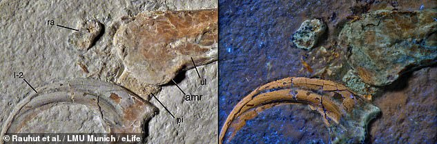 Archaeopteryx is widely believed to be the first bird to ever live, but it may not have been alone in the skies 150million years ago. An Archaeopteryx fossil was also unearthed from the same limestone unit as the new species, which suggests that the two creatures lived at the same time