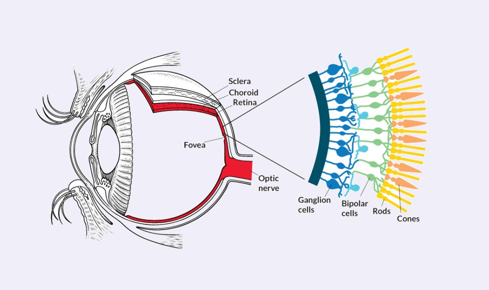 The two-cell diagram of the kinds of photosensitive cells in the retina needs an update!