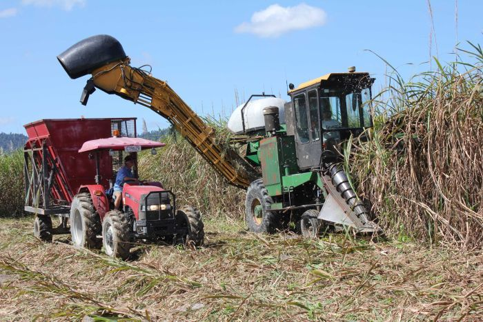 A sugarcane harvester cuts cane from a field.