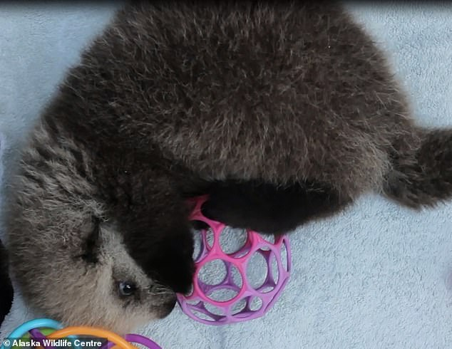 Often sea otters need rescuing after being stranded by their mother when they are pups - usually after their mother has died