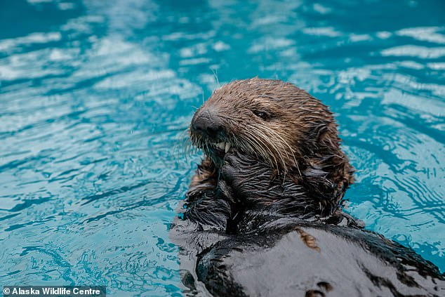 The species is now playing a role in marine education programmes, including this partnership between the Sea Life Trust and Alaska Wildlife Rescue