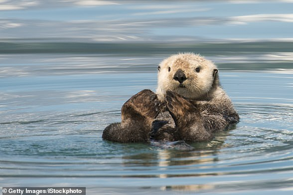 More than 90 per cent of all Sea Otters live in Alaska where population increases and warming waters are impacting on their habitat