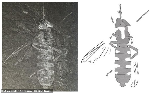 The long-proboscid fly Buccinatormyia gangnami from the Lower Cretaceous of South Korea