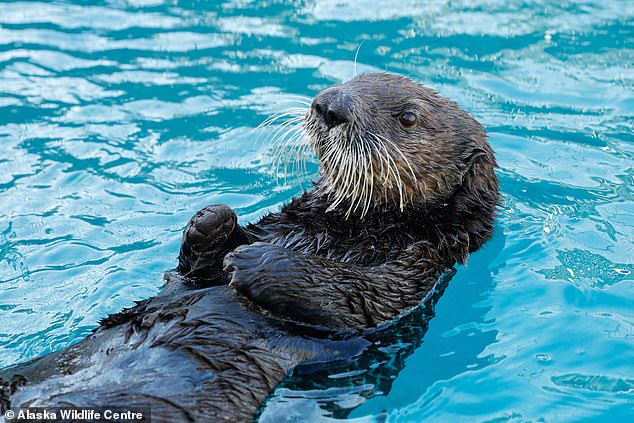 A pair of 'adorable' Alaskan sea otters will take up residence in a new multi-million pound enclosure at the National Sea Life centre in Birmingham next year