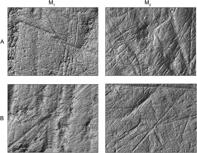 The protodog teeth samples (top two panels) showed greater scratching, which researchers attribute to a diet that included lots of smaller discarded bones from humans, while the wolf teeth (bottom two panels) showed less overall marking