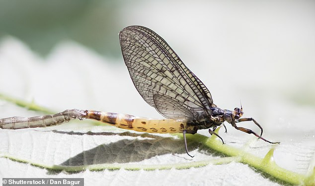 The study published in the journal Nature Ecology and Evolution found the distribution of freshwater insects such as mayflies, dragonflies and caddisflies have surpassed 1970s levels. A mayfly is pictured above